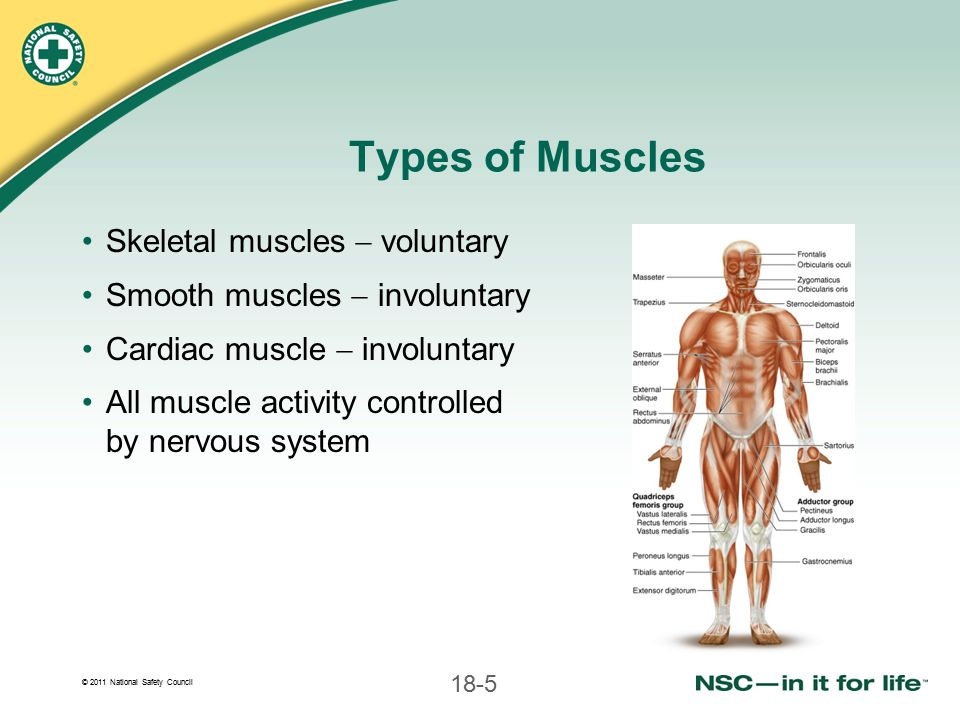 Types of Muscles Skeletal muscles  voluntary