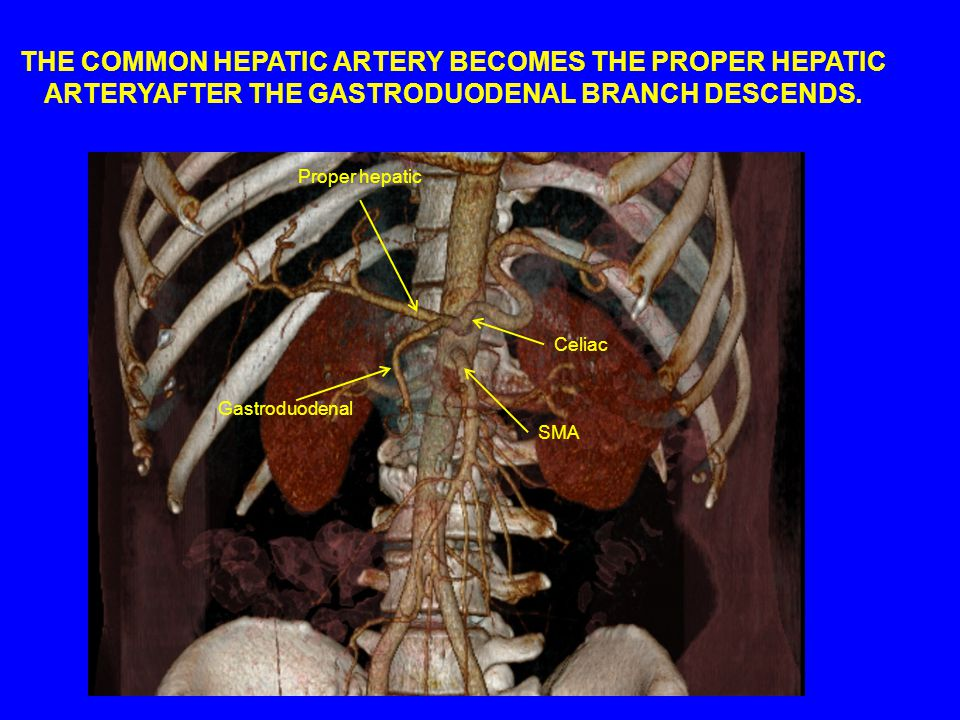 THE COMMON HEPATIC ARTERY BECOMES THE PROPER HEPATIC ARTERYAFTER THE GASTRODUODENAL BRANCH DESCENDS.