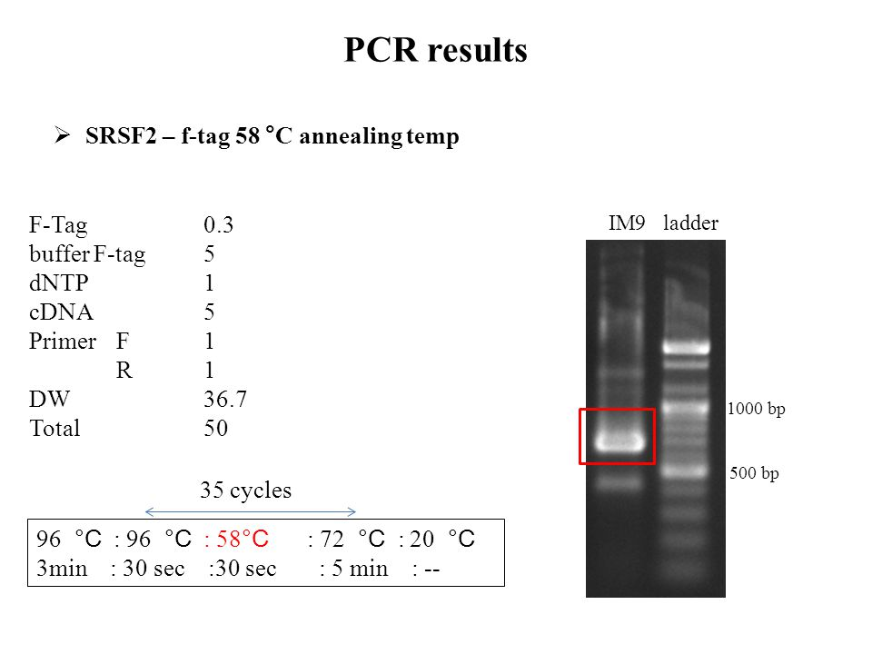 PCR results SRSF2 – f-tag 58 °C annealing temp F-Tag 0.3