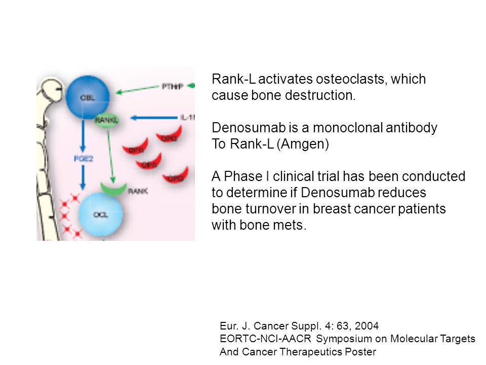 Rank-L activates osteoclasts, which cause bone destruction.