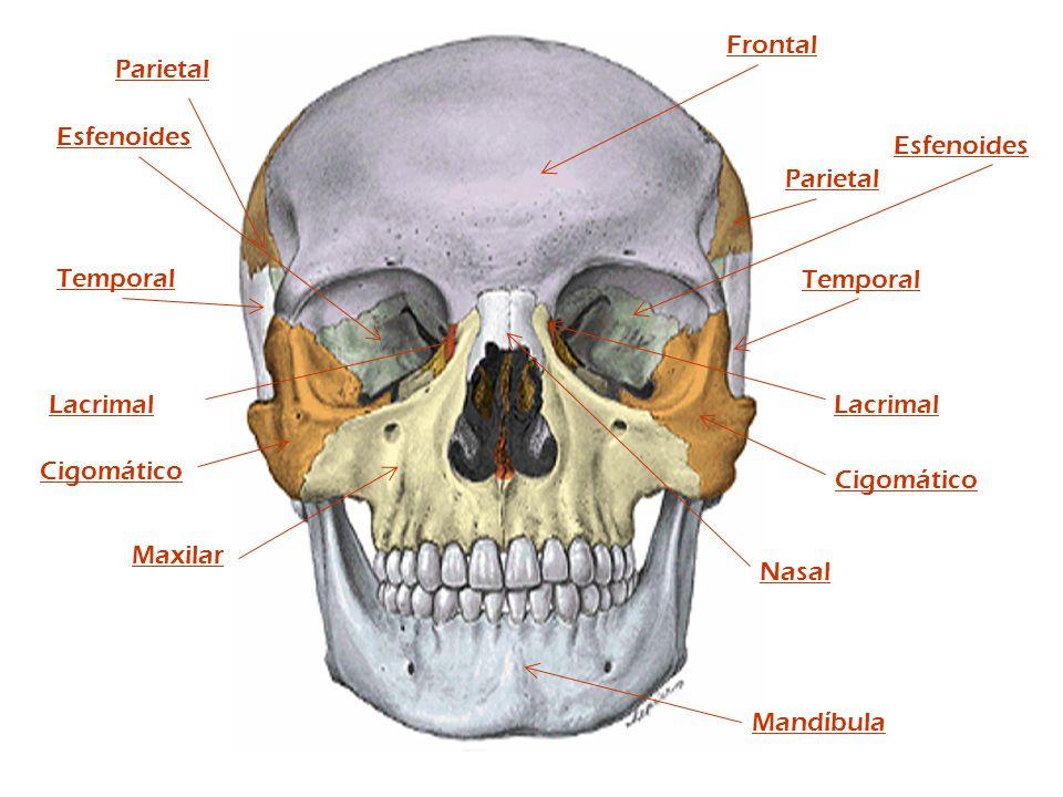 Frontal Parietal. Esfenoides. Esfenoides. Parietal. Temporal. Temporal. Lacrimal. Lacrimal. Cigomático.