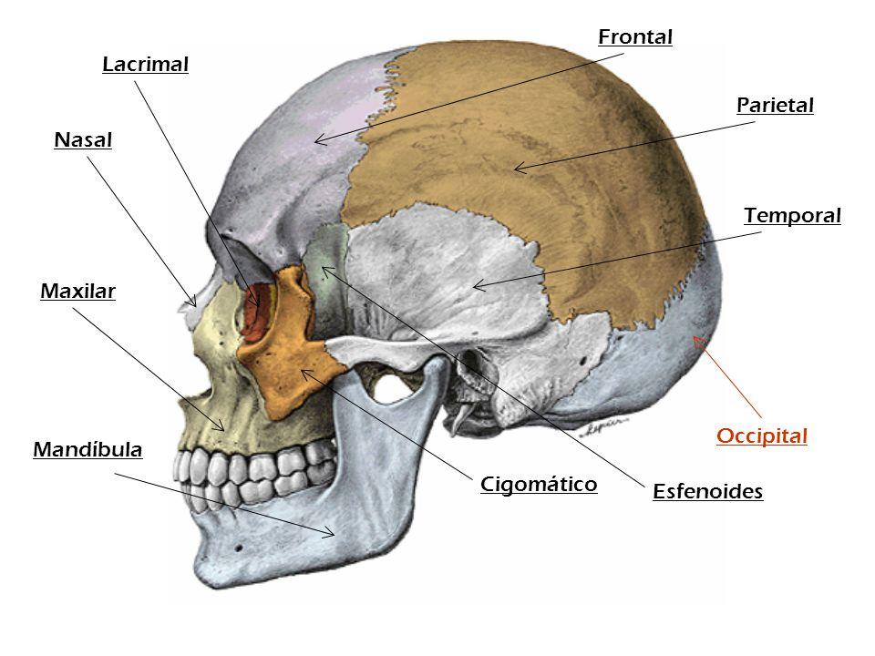 Frontal Lacrimal Parietal Nasal Temporal Maxilar Occipital Mandíbula Cigomático Esfenoides