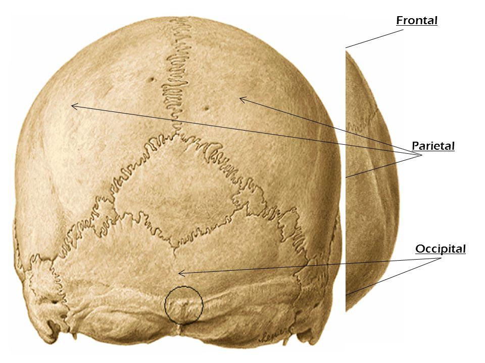 Frontal Nasal Parietal Parietal Occipital