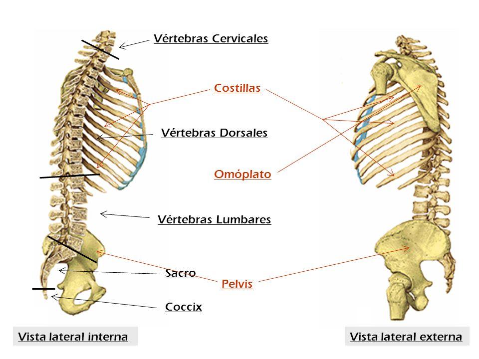 Vértebras Cervicales Costillas. Vértebras Dorsales. Omóplato. Vértebras Lumbares. Sacro. Pelvis.