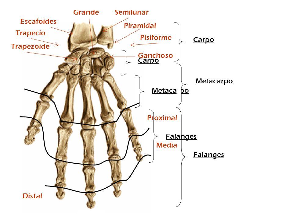 Grande Semilunar. Escafoides. Piramidal. Trapecio. Pisiforme. Carpo. Trapezoide. Ganchoso. Carpo.