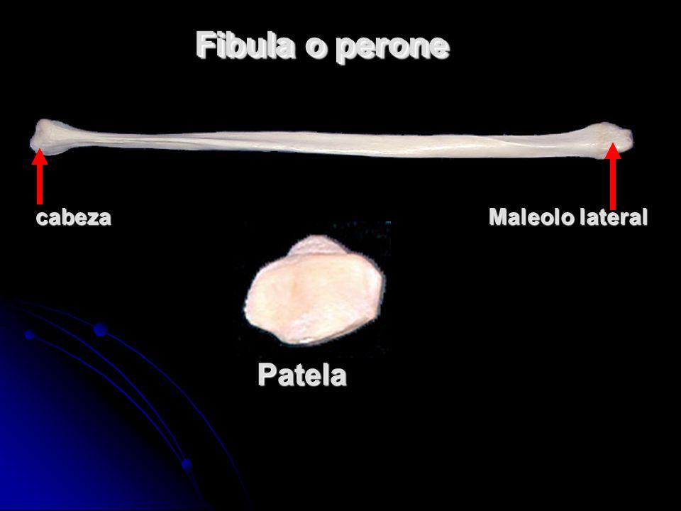 Fibula o perone cabeza Maleolo lateral Patela