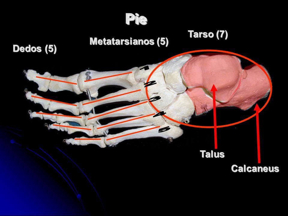 Pie Tarso (7) Metatarsianos (5) Dedos (5) 1 2 3 4 5 Talus Calcaneus