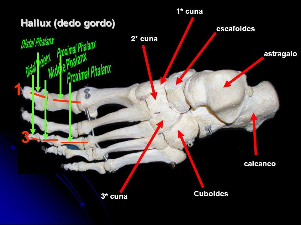 1 3 Hallux (dedo gordo) Middle Phalanx 1* cuna escafoides