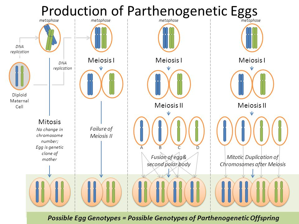 Production of Parthenogenetic Eggs