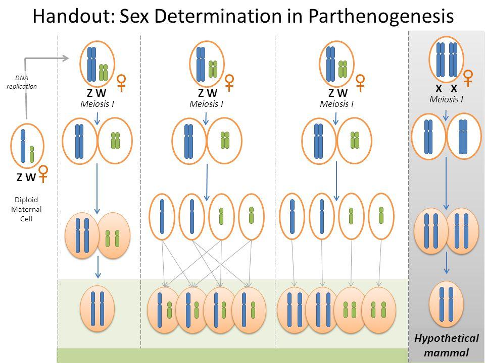 Handout: Sex Determination in Parthenogenesis
