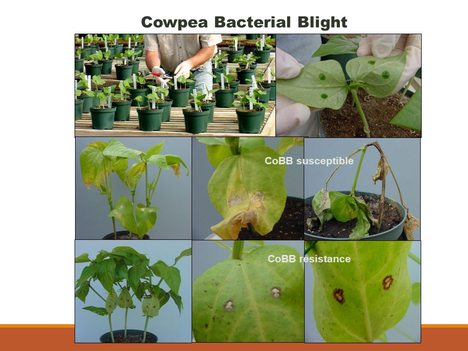 Cowpea Bacterial Blight