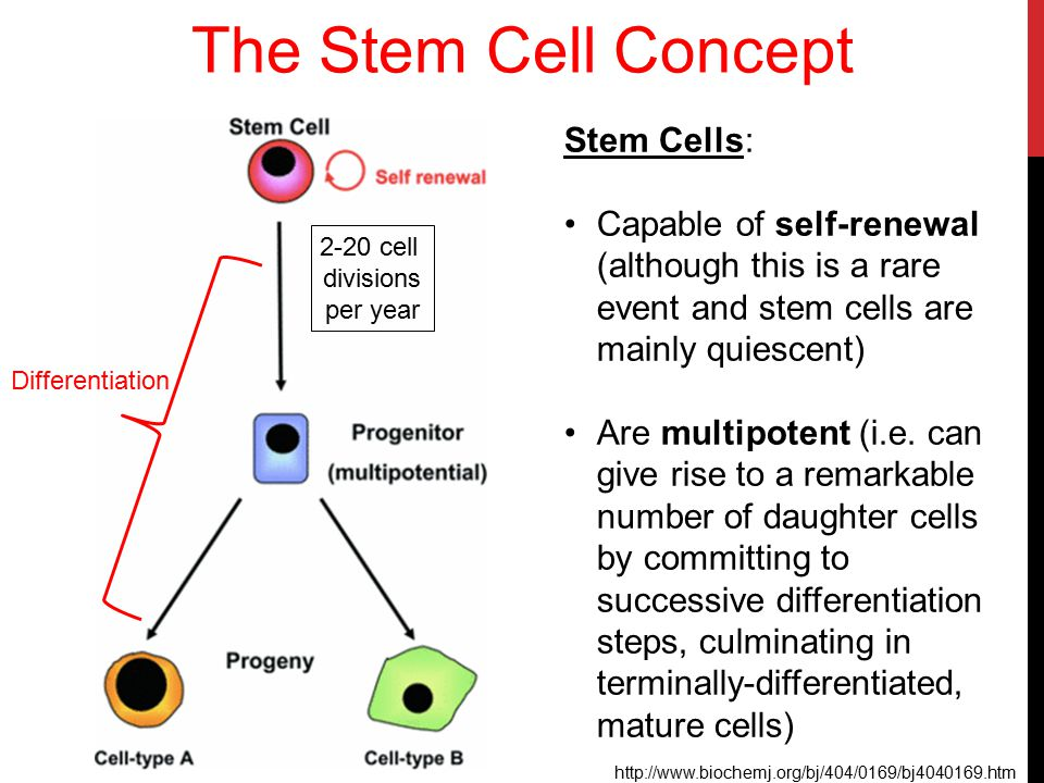 The Stem Cell Concept Stem Cells: