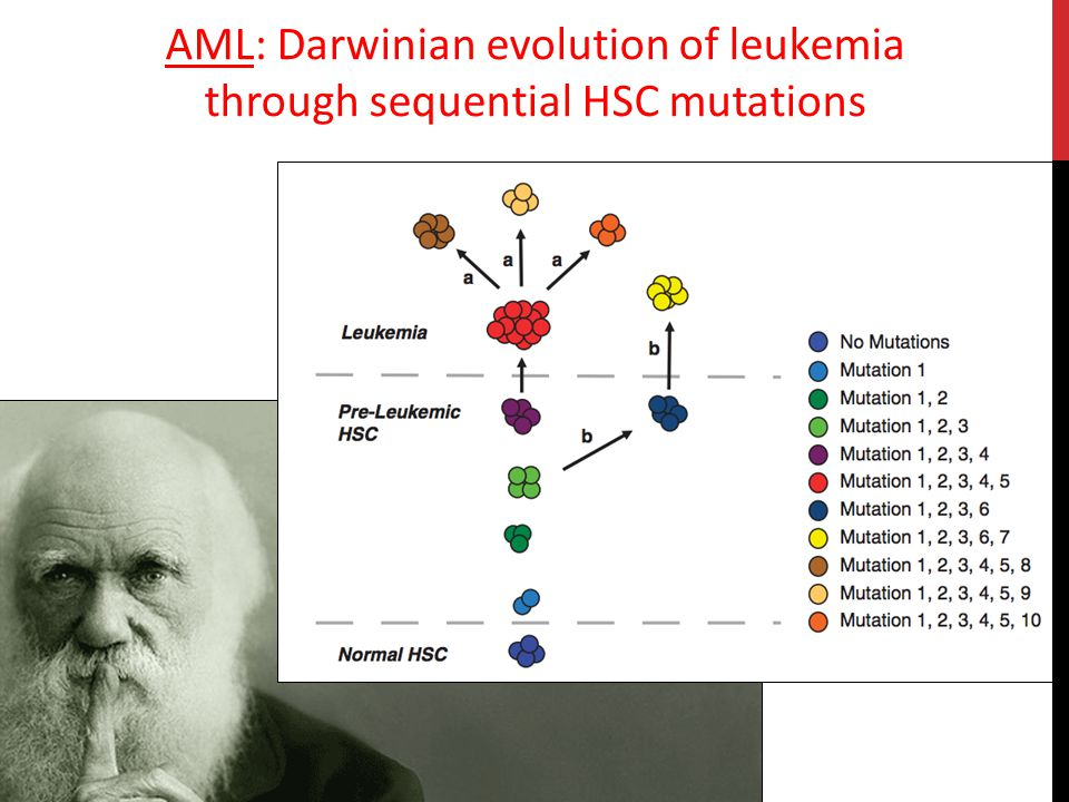 AML: Darwinian evolution of leukemia through sequential HSC mutations