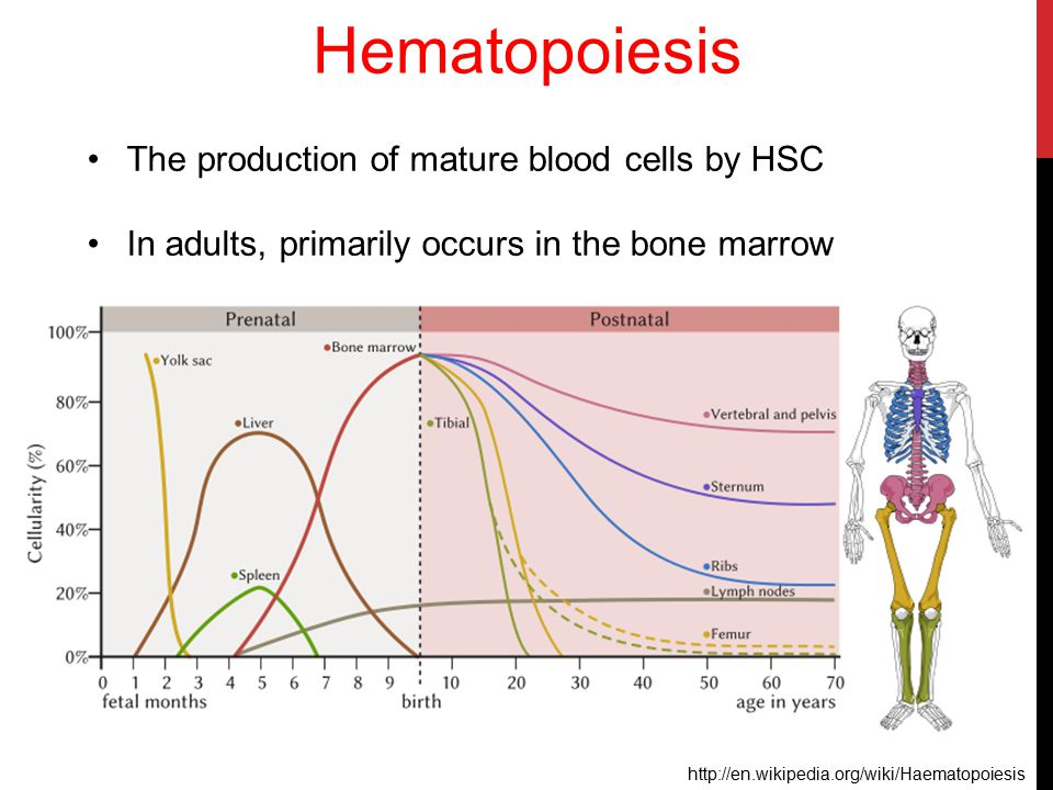Hematopoiesis The production of mature blood cells by HSC