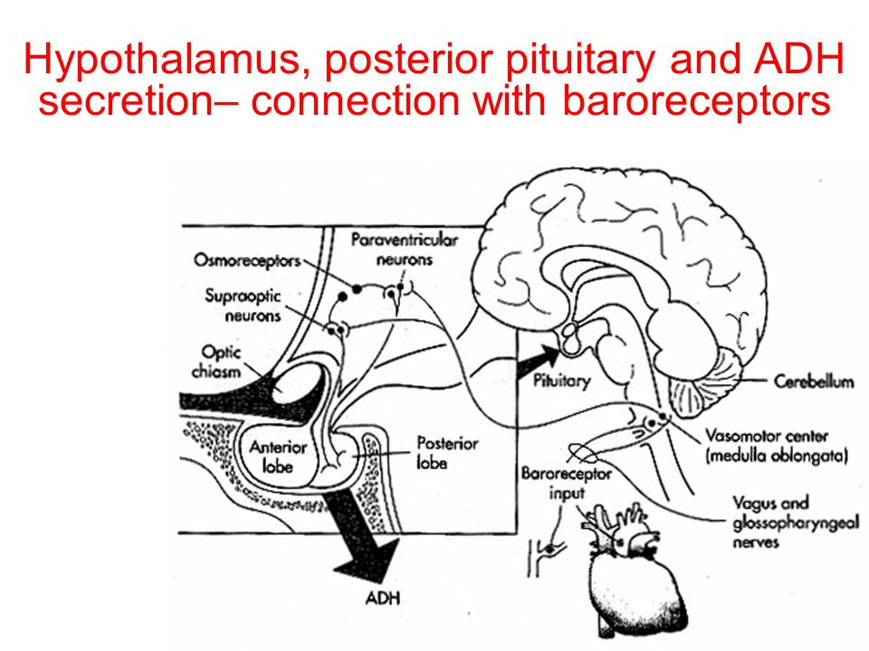 Hypothalamus, posterior pituitary and ADH secretion– connection with baroreceptors