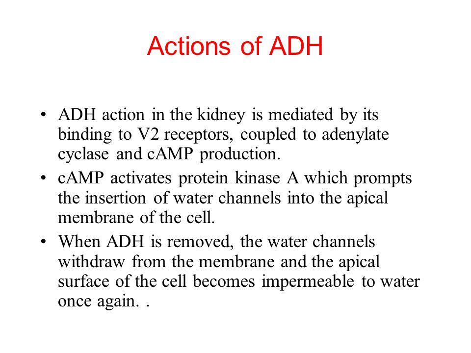 Actions of ADH ADH action in the kidney is mediated by its binding to V2 receptors, coupled to adenylate cyclase and cAMP production.