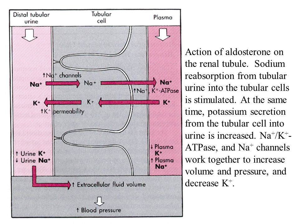 Action of aldosterone on the renal tubule