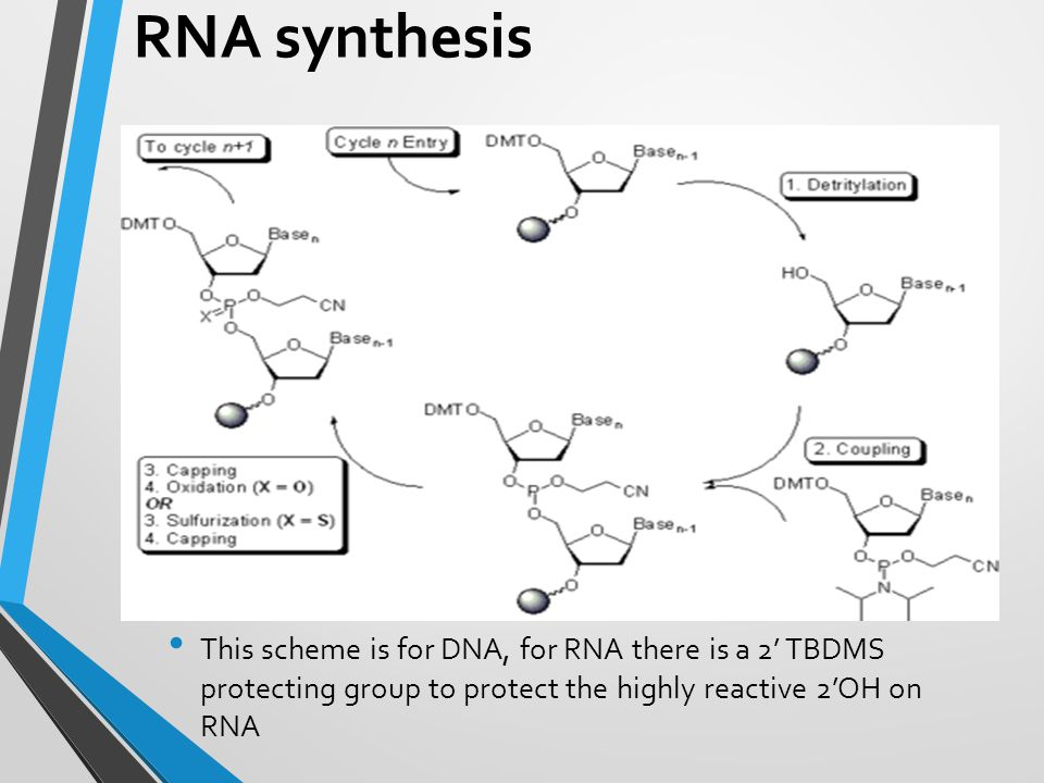 RNA synthesis This scheme is for DNA, for RNA there is a 2' TBDMS protecting group to protect the highly reactive 2'OH on RNA.