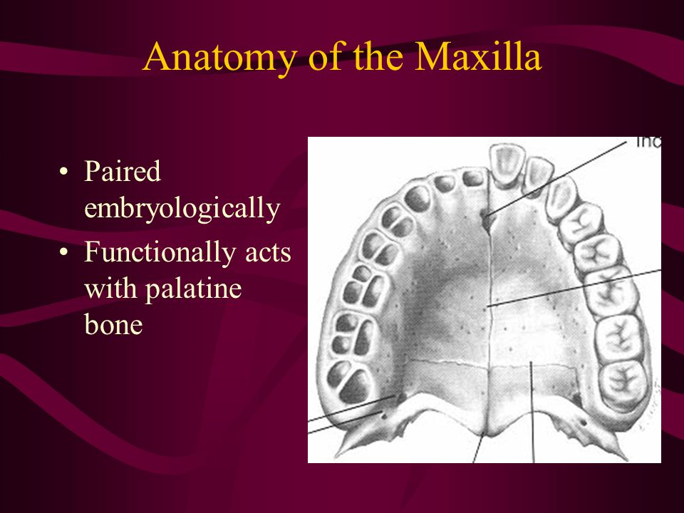 Anatomy of the Maxilla Paired embryologically