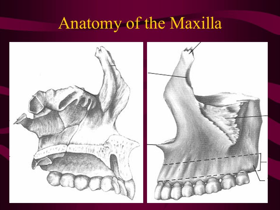 Anatomy of the Maxilla