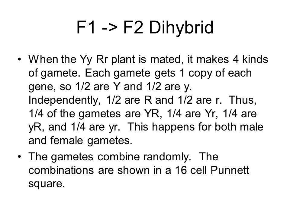 F1 -> F2 Dihybrid