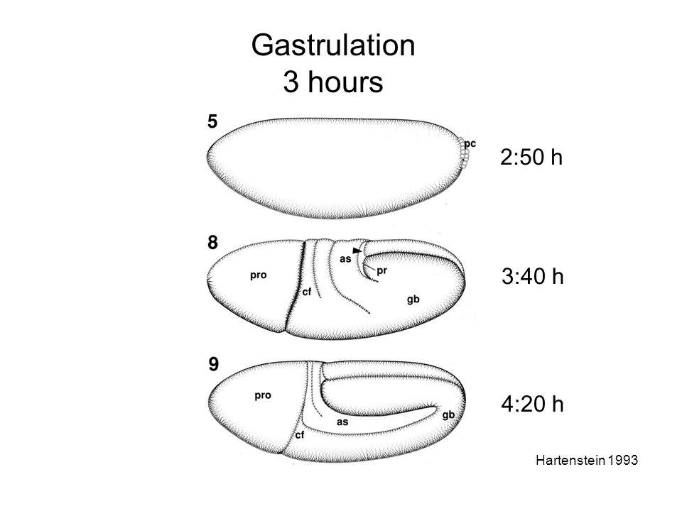 Gastrulation 3 hours 2:50 h 3:40 h 4:20 h Hartenstein 1993