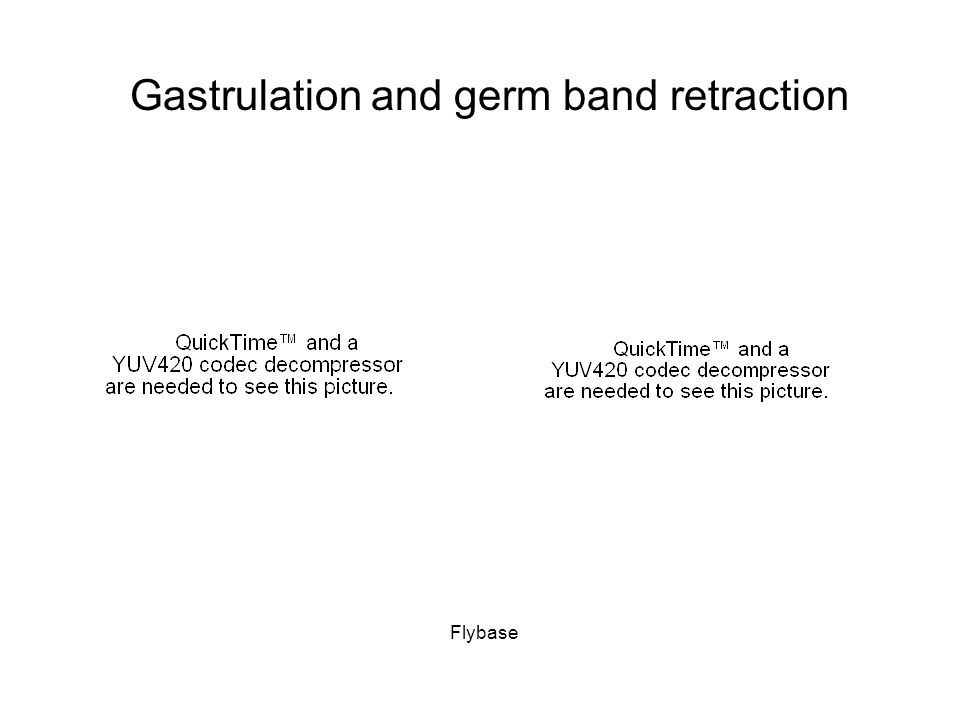Gastrulation and germ band retraction