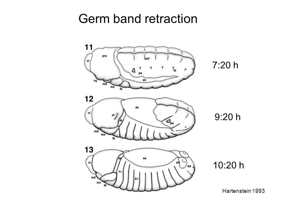 Germ band retraction 7:20 h 9:20 h 10:20 h Hartenstein 1993