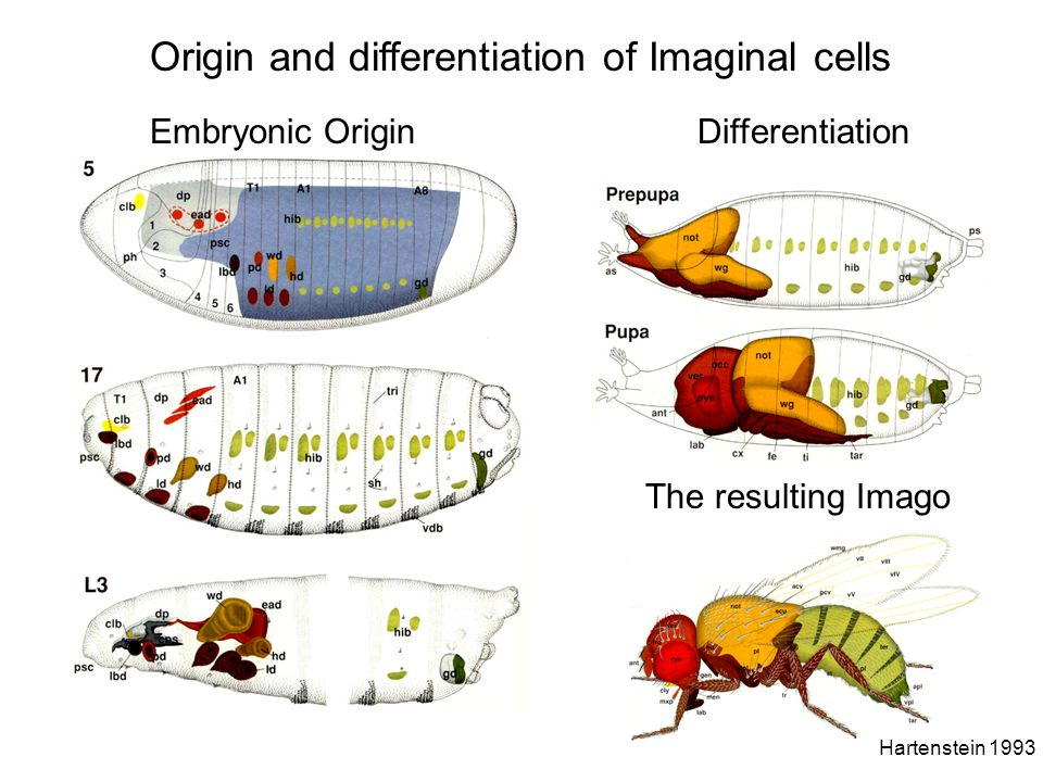 Origin and differentiation of Imaginal cells