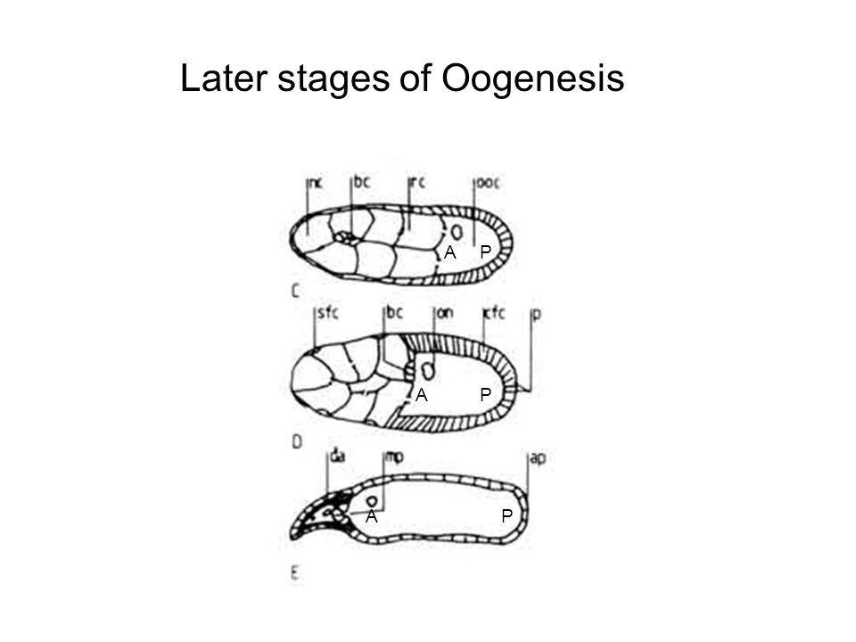 Later stages of Oogenesis