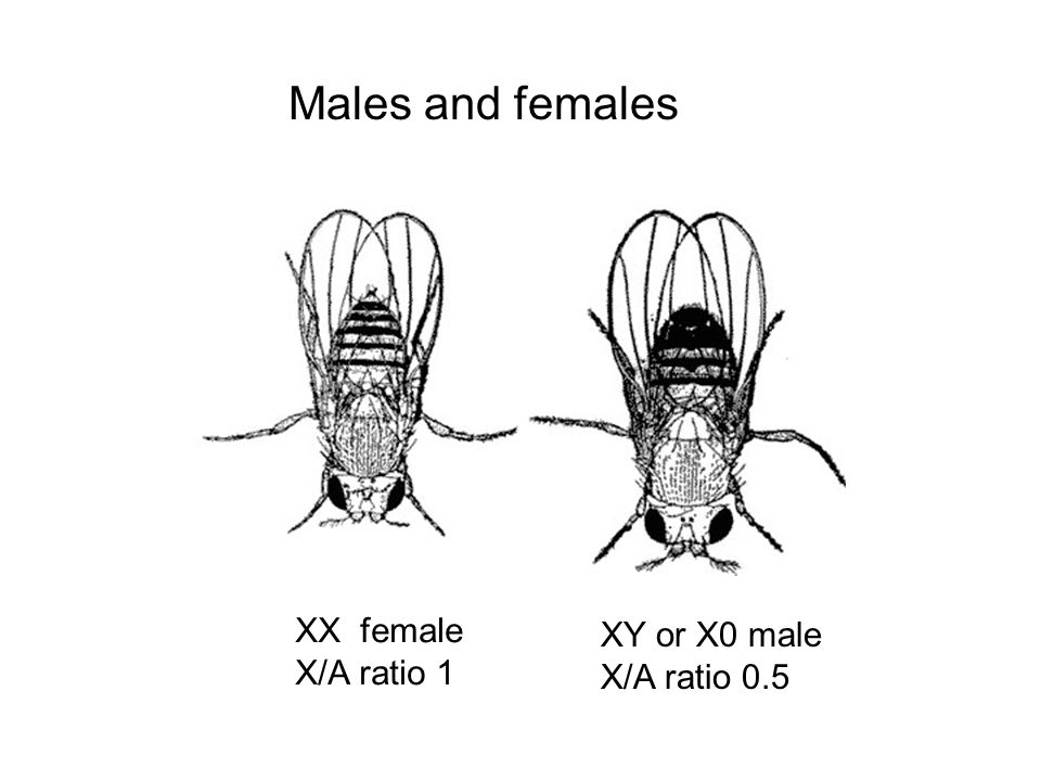 Males and females XX female X/A ratio 1 XY or X0 male X/A ratio 0.5