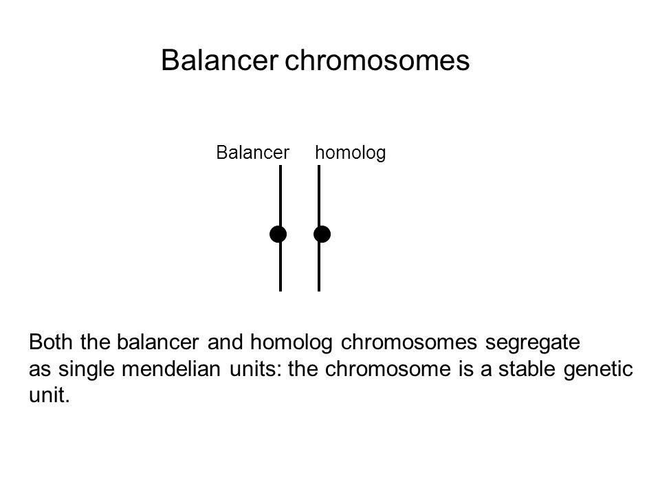 Balancer chromosomes Balancer. homolog. Both the balancer and homolog chromosomes segregate.
