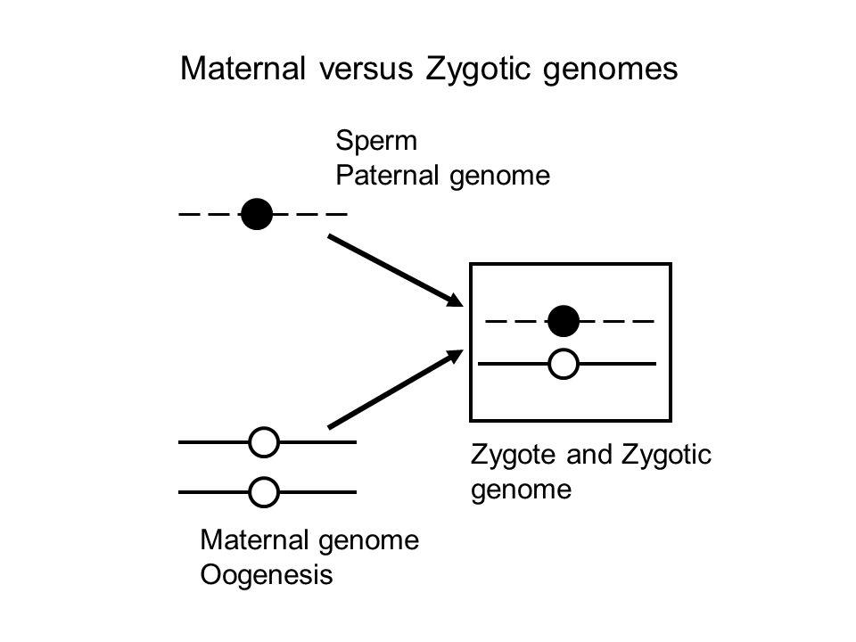 Maternal versus Zygotic genomes