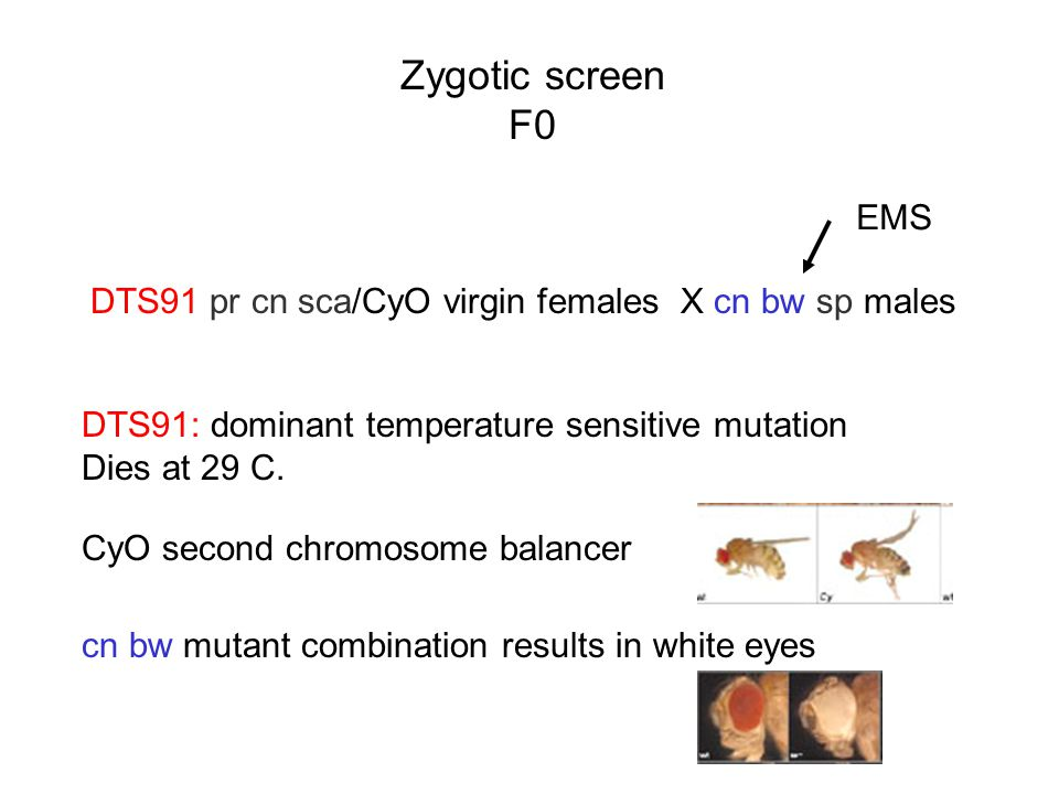 Zygotic screen F0. EMS. DTS91 pr cn sca/CyO virgin females X cn bw sp males. DTS91: dominant temperature sensitive mutation.