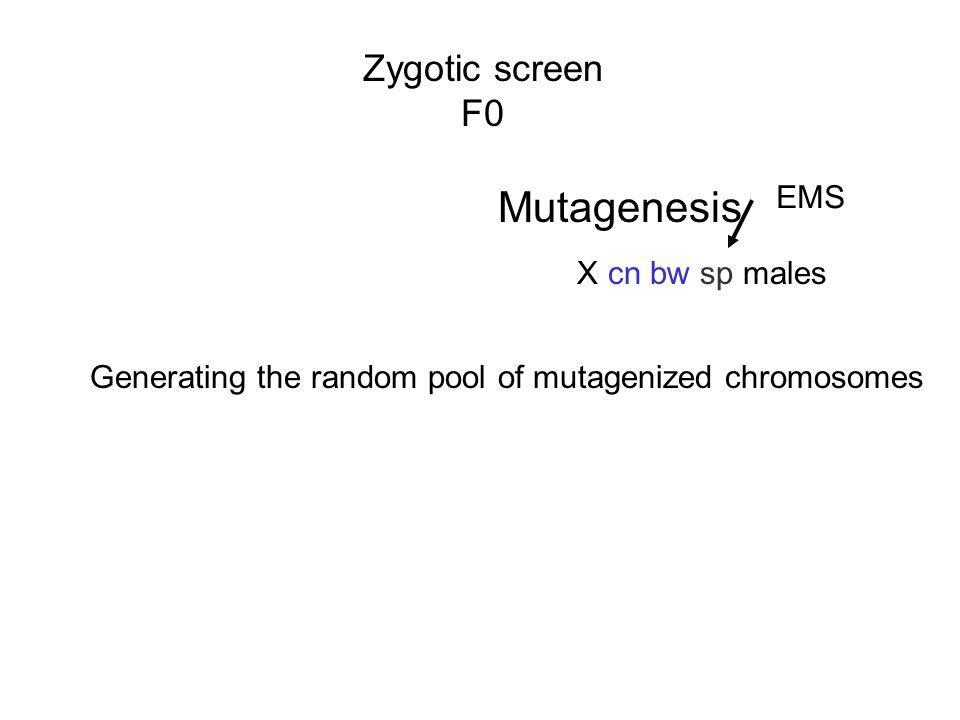 Mutagenesis Zygotic screen F0 EMS X cn bw sp males