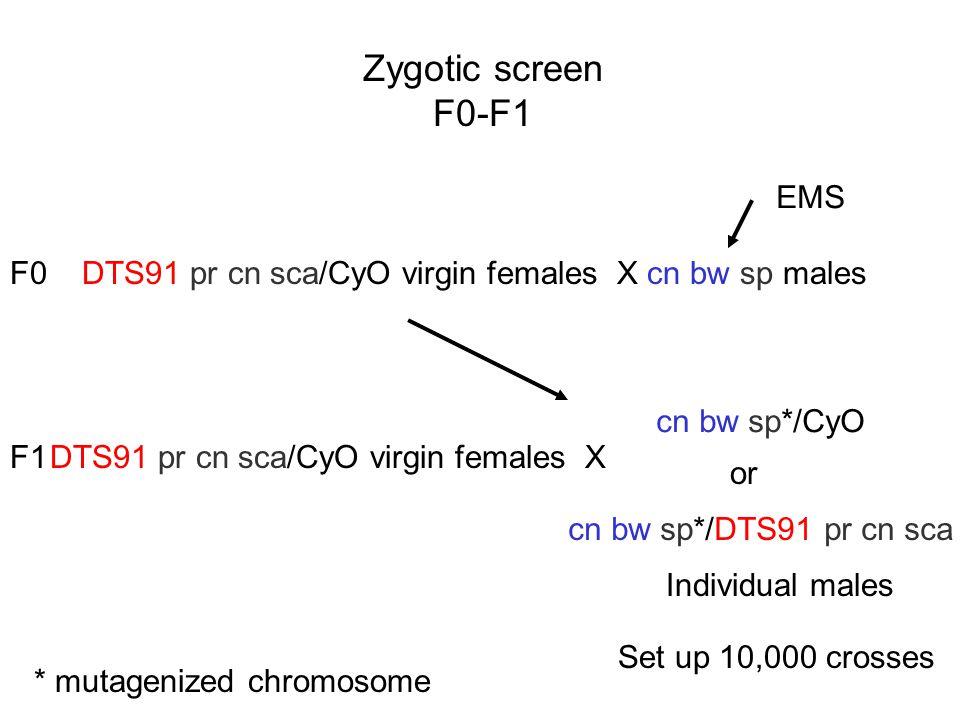 Zygotic screen F0-F1 EMS F0