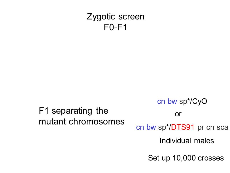Zygotic screen F0-F1 F1 separating the mutant chromosomes