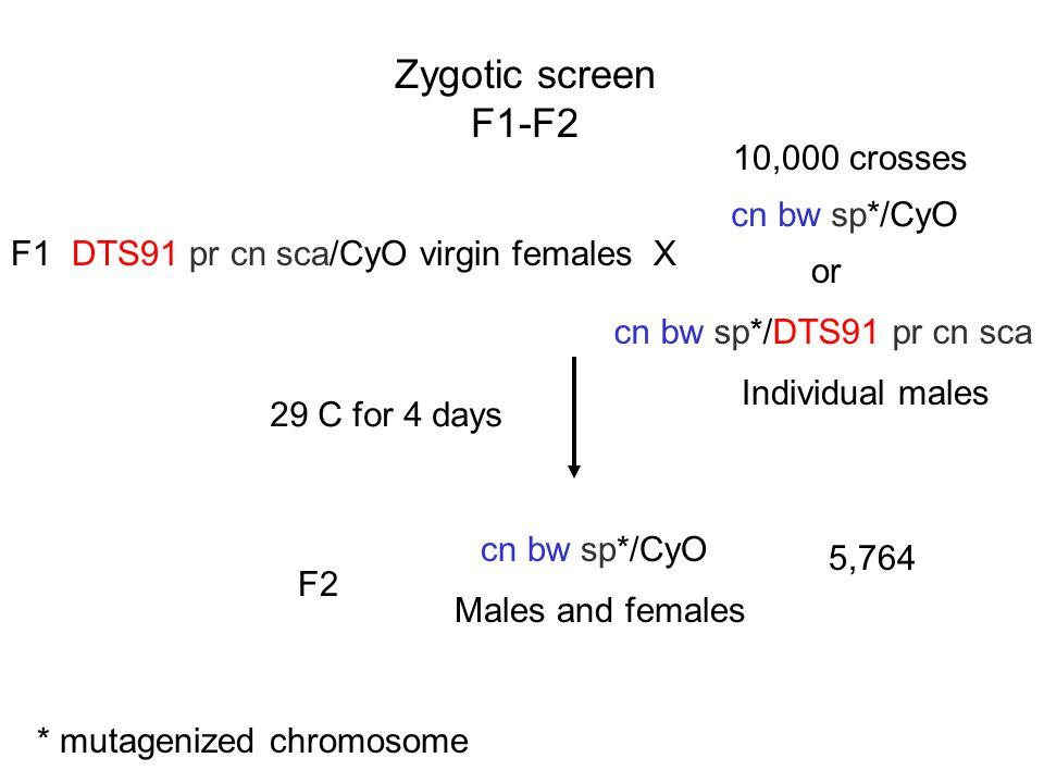 Zygotic screen F1-F2 10,000 crosses cn bw sp*/CyO F1