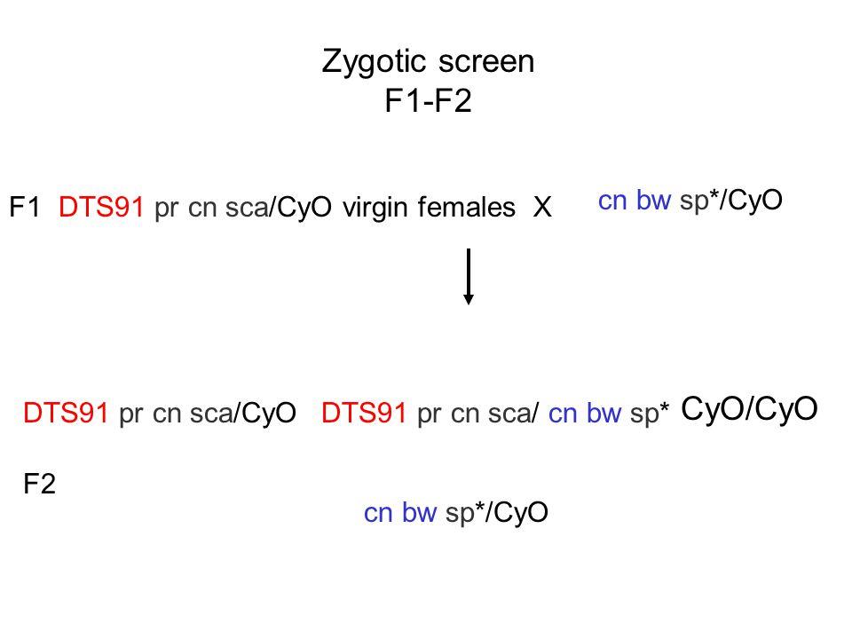 Zygotic screen F1-F2 CyO/CyO cn bw sp*/CyO F1
