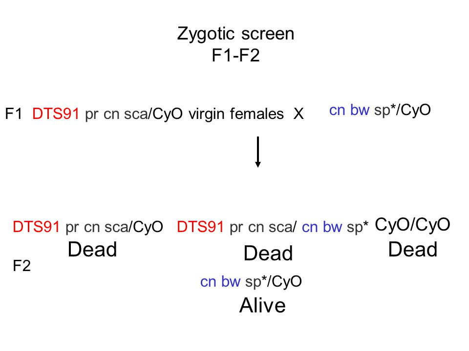 Dead Dead Dead Alive Zygotic screen F1-F2 CyO/CyO cn bw sp*/CyO F1