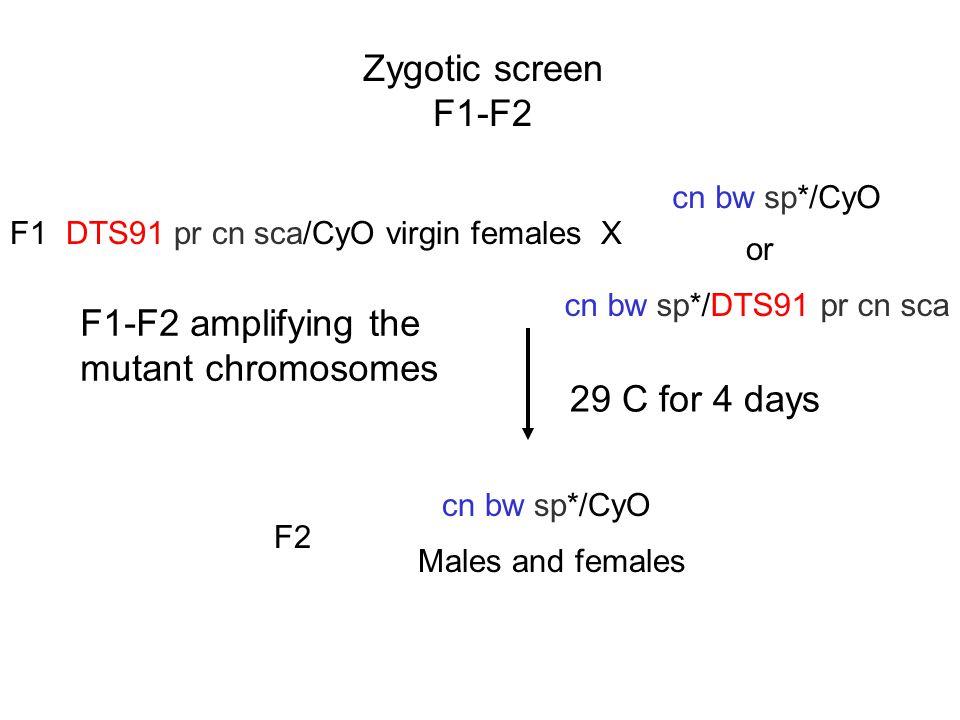 Zygotic screen F1-F2 F1-F2 amplifying the mutant chromosomes