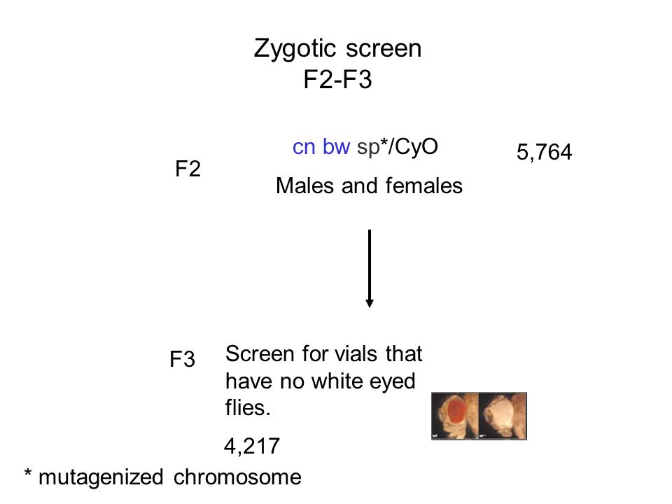 Zygotic screen F2-F3 cn bw sp*/CyO 5,764 F2 Males and females