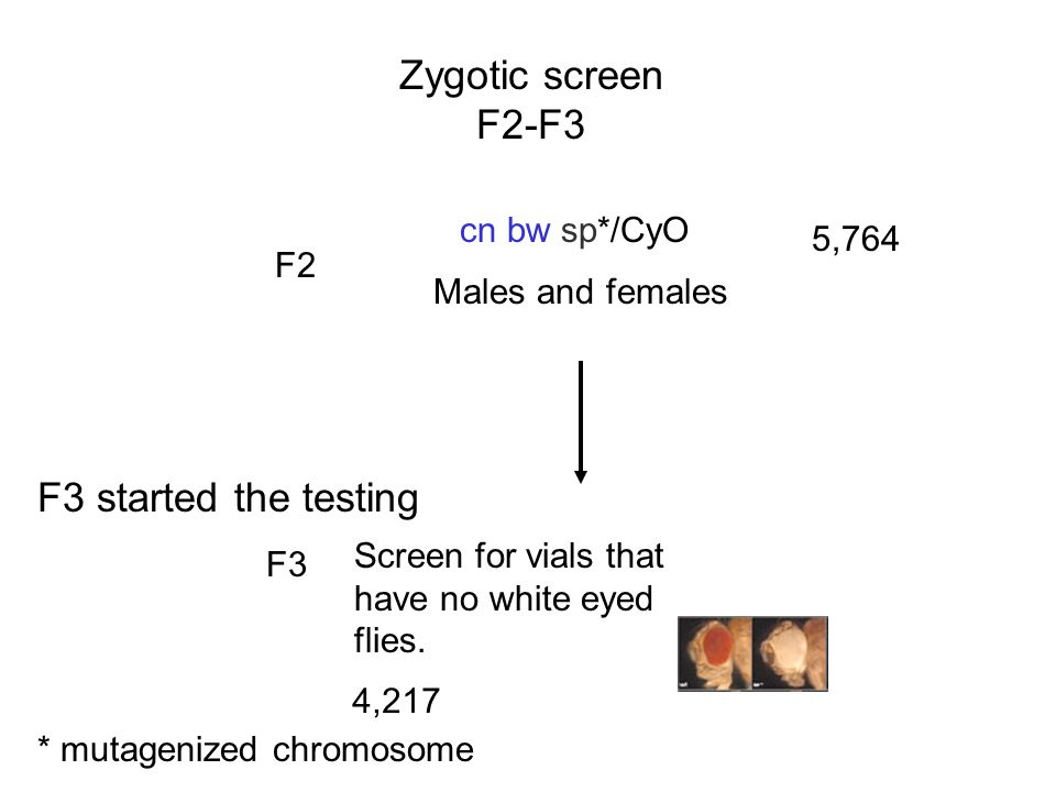 Zygotic screen F2-F3 F3 started the testing cn bw sp*/CyO 5,764 F2