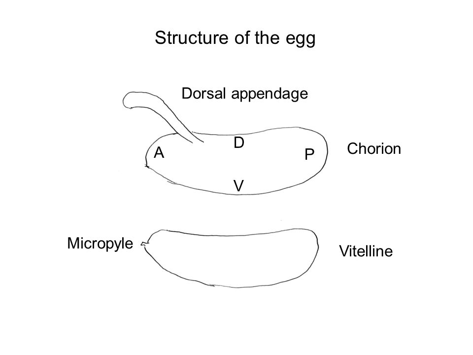 Structure of the egg Dorsal appendage D Chorion A P V Micropyle