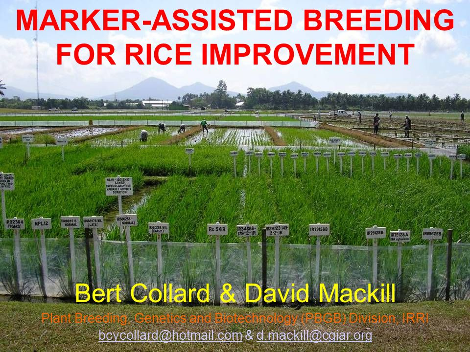 MARKER-ASSISTED BREEDING FOR RICE IMPROVEMENT
