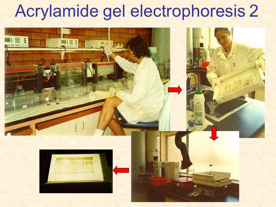 Acrylamide gel electrophoresis 2