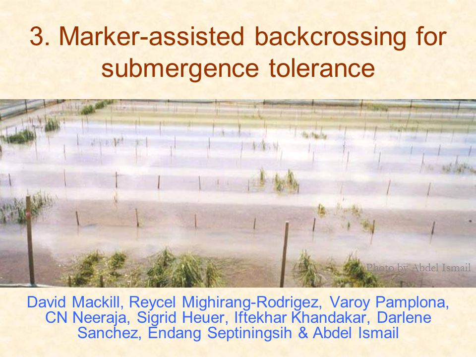 3. Marker-assisted backcrossing for submergence tolerance