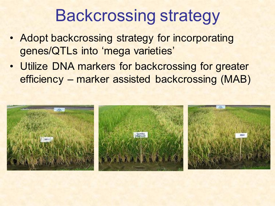 Backcrossing strategy