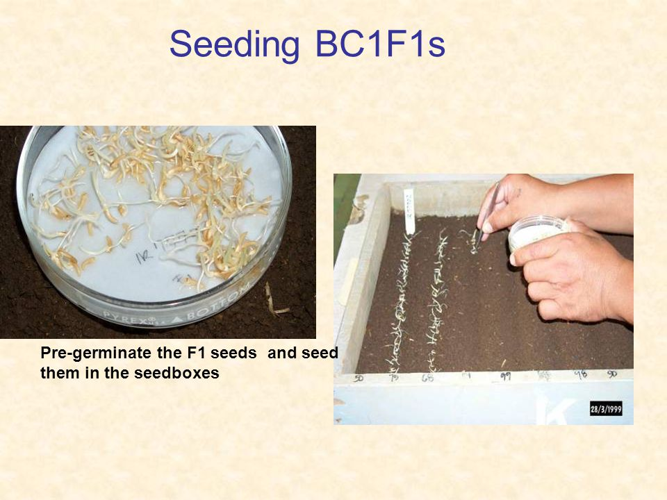 Seeding BC1F1s Pre-germinate the F1 seeds and seed