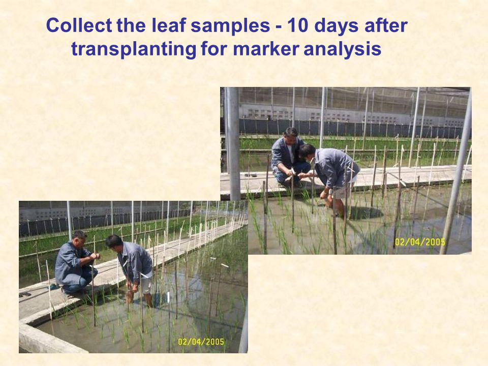 Collect the leaf samples - 10 days after transplanting for marker analysis
